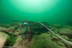 BD-110806-Stora-Lund-4806-Pacifastacus-leniusculus-(Dana.-1852)-[Signal-crayfish.-Signalkräfta].jpg